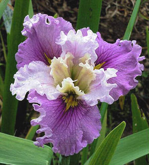 The Ren�e Fleming Iris